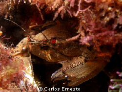 Velvet crab (Necora puber) by Carlos Ernesto 